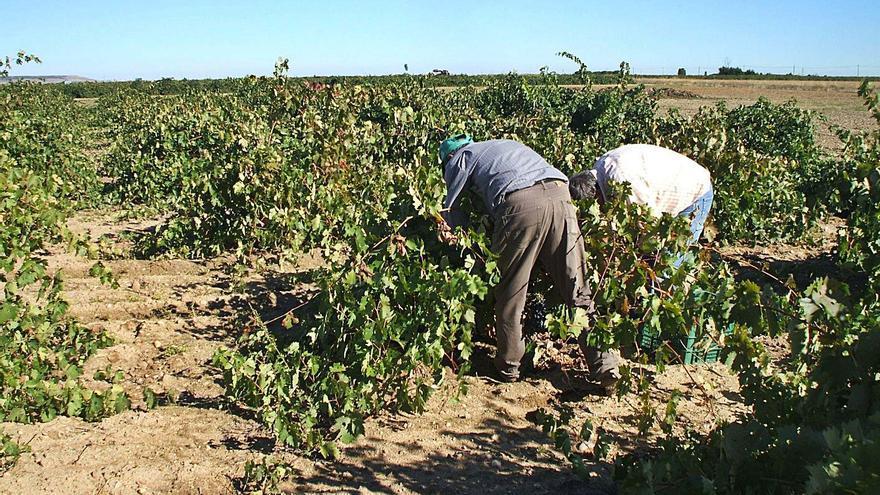 La DO Toro anima a inscribir viñas de albillo y moscatel
