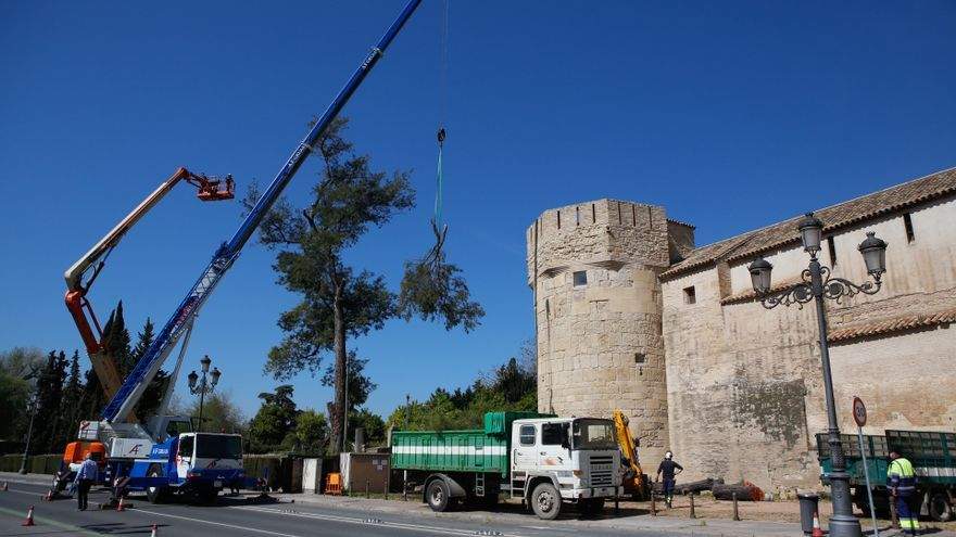 Infraestructuras tala dos árboles centenarios en el Alcázar para evitar daños en el monumento