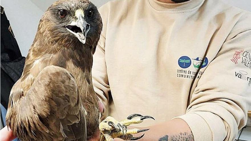 El águila lagunera regresa al marjal  de la Safor