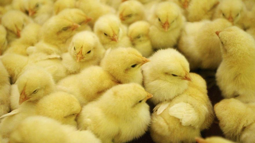 Triturar pollastres vius acabats de néixer: legal a Espanya, prohibit a Suïssa