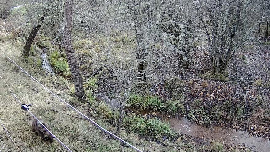 La osezna recogida en agosto en Somiedo ha sido trasladada al recinto de aclimatación de Valsemana (León)
