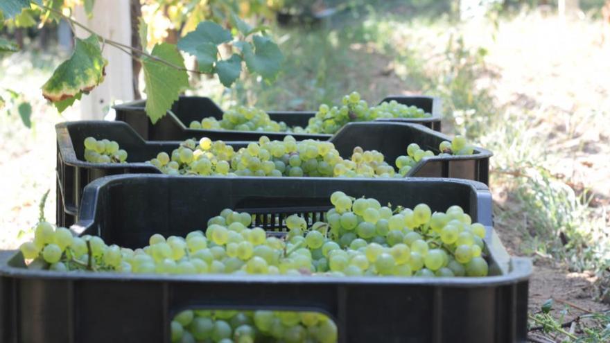 COAG denuncia coacciones a los viticultores para que abaraten el precio de la uva