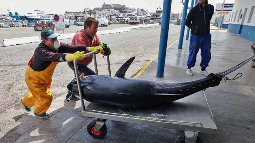 El Govern reivindica la pesca del atún rojo en Balears