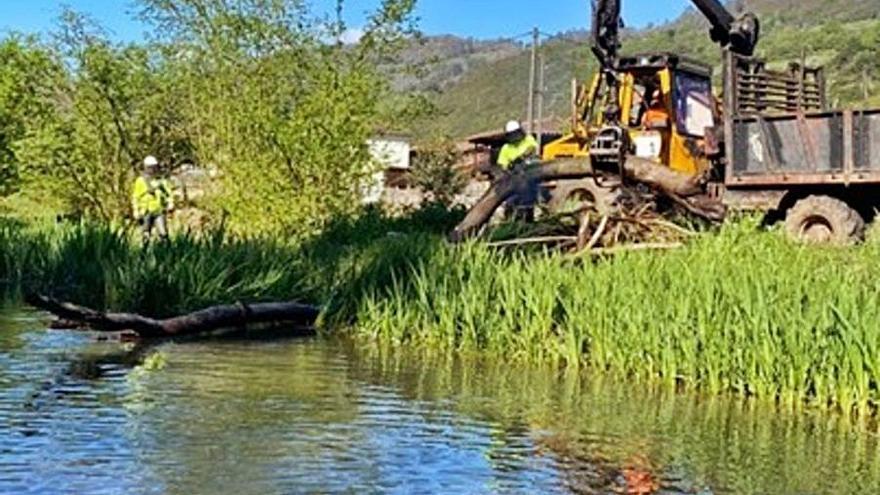 La Confederación limpia los ríos Cubia y Sama y el arroyo Cuanxú, en Grado