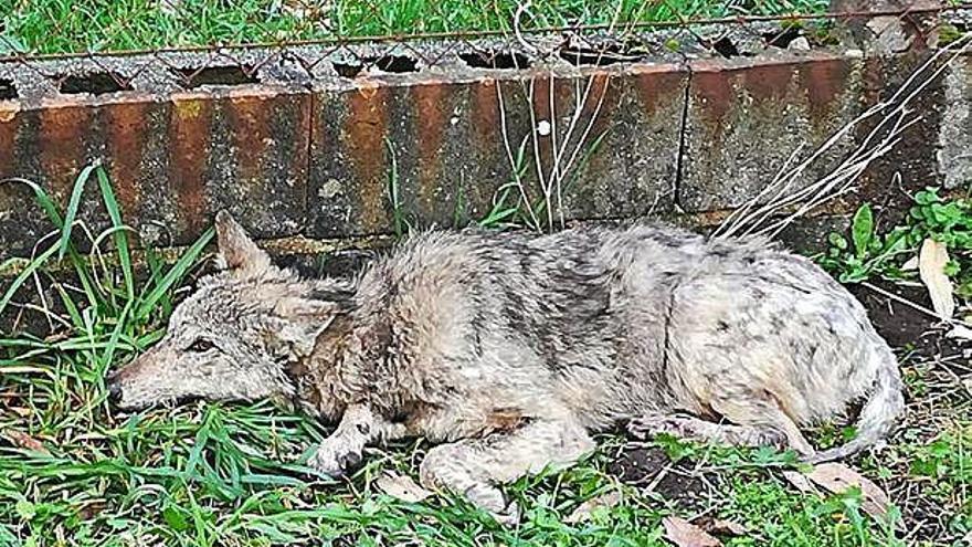 El lobo atropellado, en fase de recuperarse en el centro de Santa Cruz
