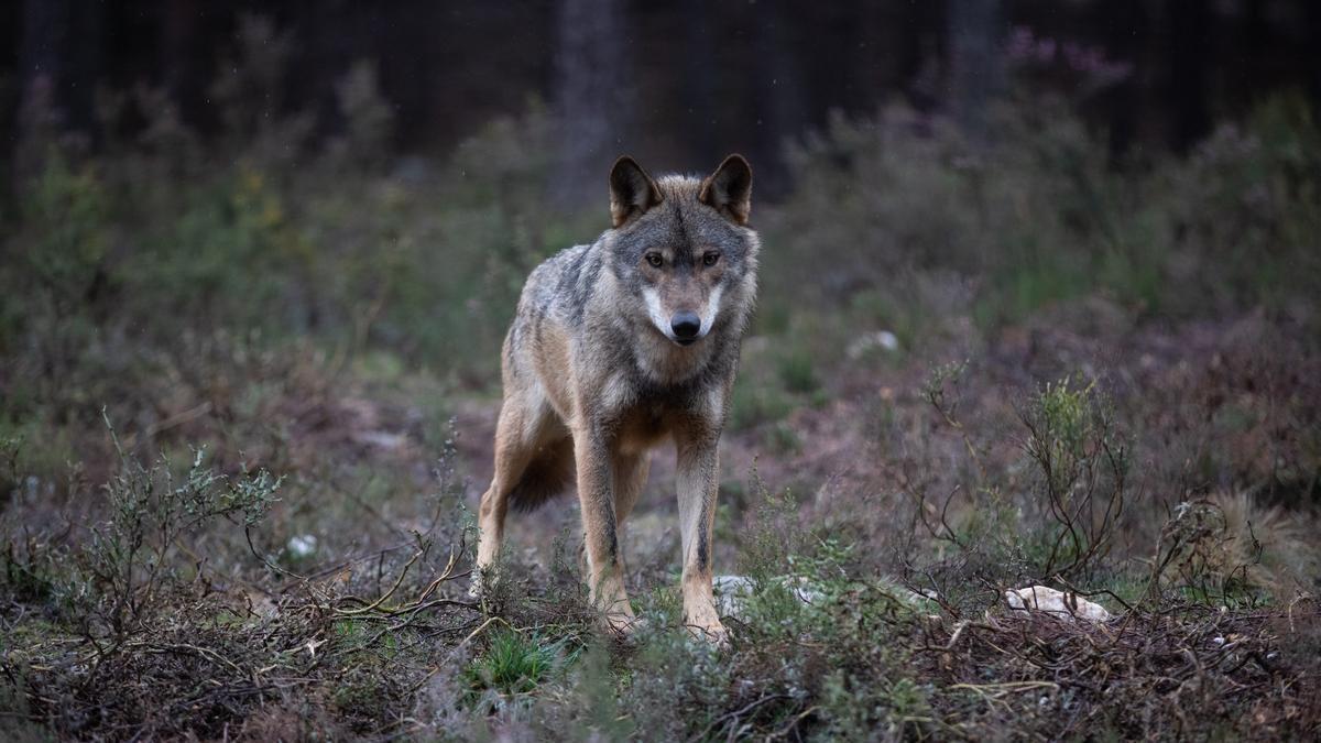 Lobo en semicautividad en el Centro del Lobo Ibérico