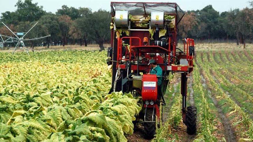 Extremadura retiene la comarca tabaquera