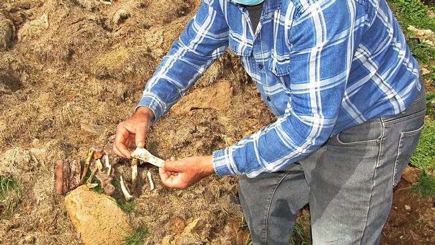 Un edil del PSOE sostiene uno de los huesos que halló en Muelas.
