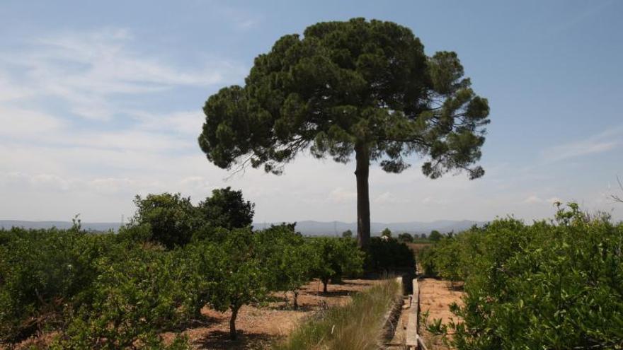 Guadassuar protegerá el pino bicentenario de 27 m que da nombre a un paraje natural