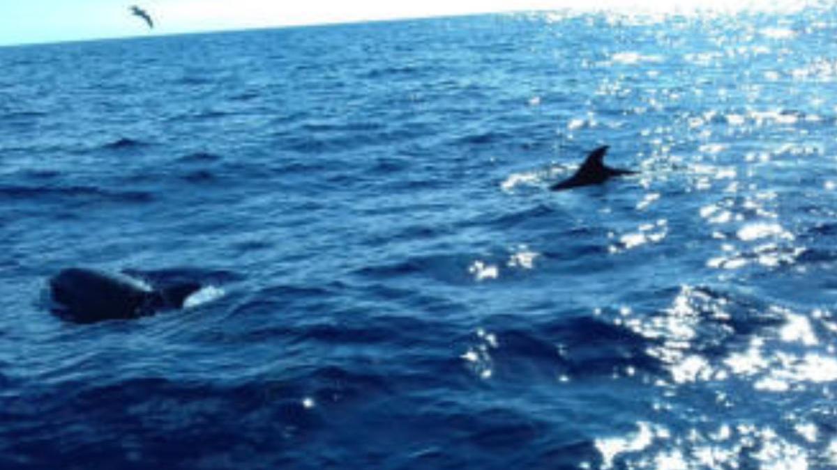Cetáceos avistados en aguas canarias.