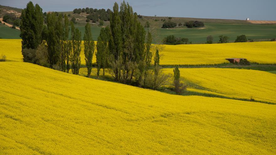 VIDEO | Sobrevuela los campos de colza de Zamora