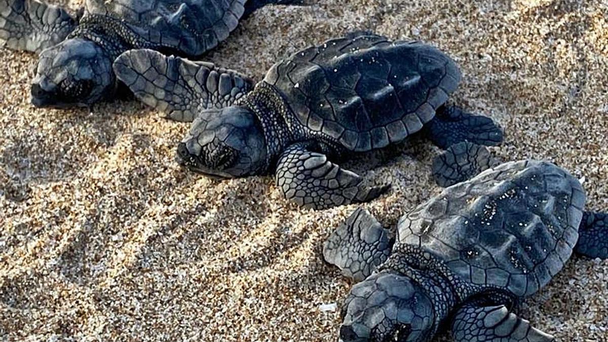Nacen  seis  tortugas bobas del nido de Cullera