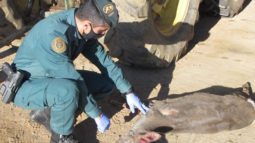 El Seprona halla en Villalazán a un conductor con un corzo cazado de forma ilegal