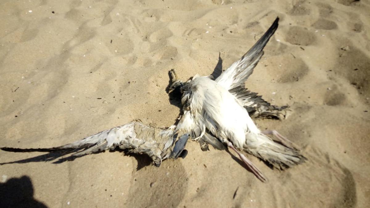 Una de las gaviotas muertas encontradas en la playa de Gandia.