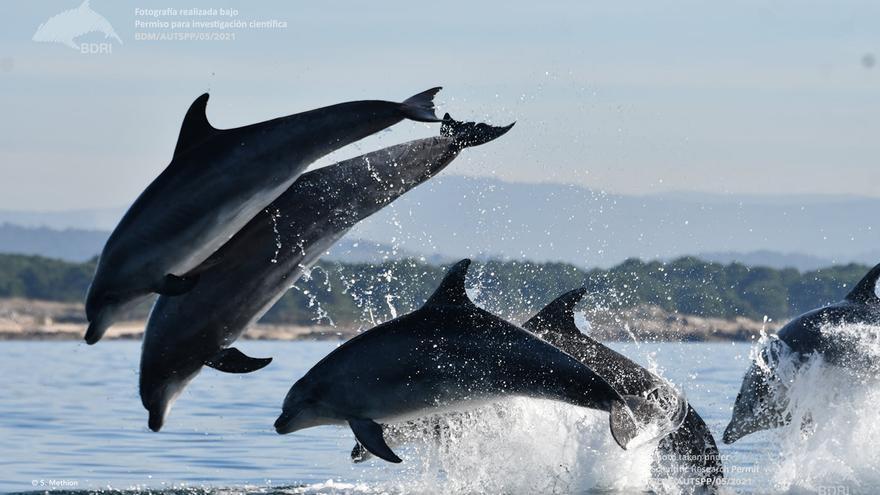 La abundancia de alimento revoluciona a los delfines