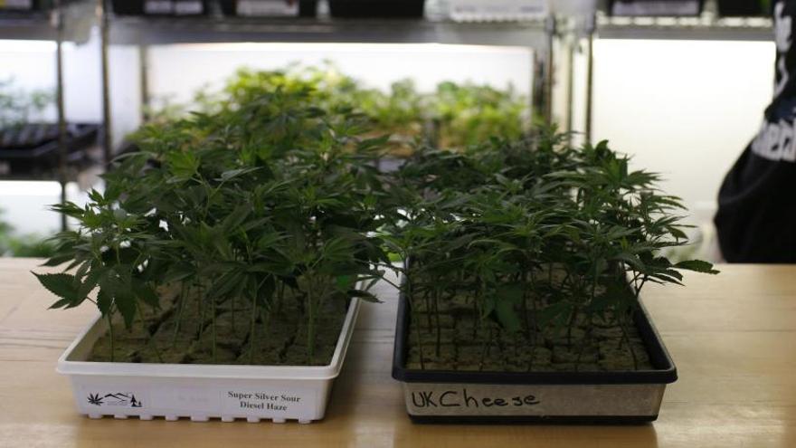 ¿Puede el cannabis curar el cáncer?
