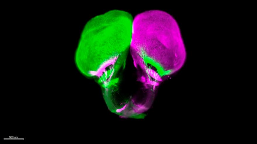 Un pez primitivo cambia la comprensión de los sistemas visuales