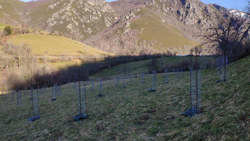 Alimerka planta 3.600 árboles autóctonos en Teverga y Quirós para compensar su huella de carbono