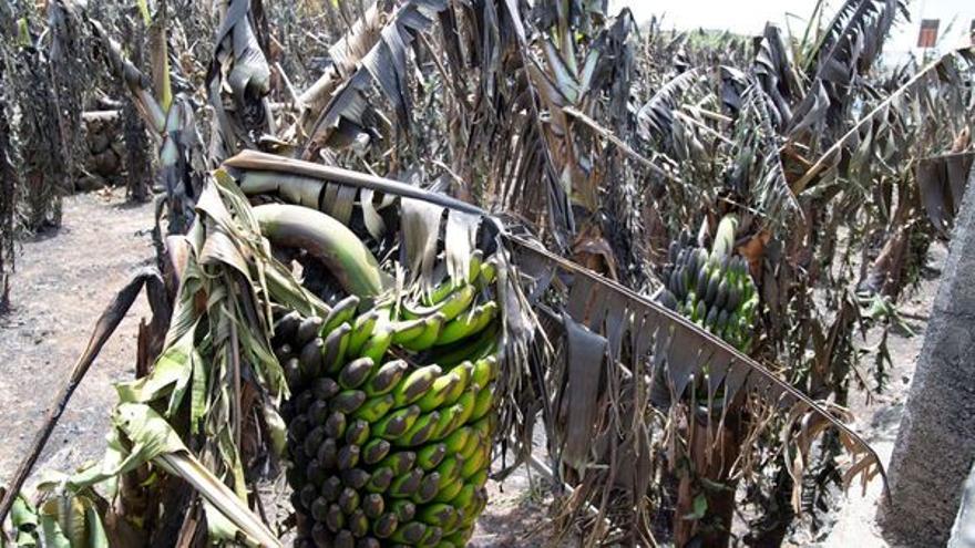 Tenerife facilitará plataneras para reponer los cultivos dañados en La Palma