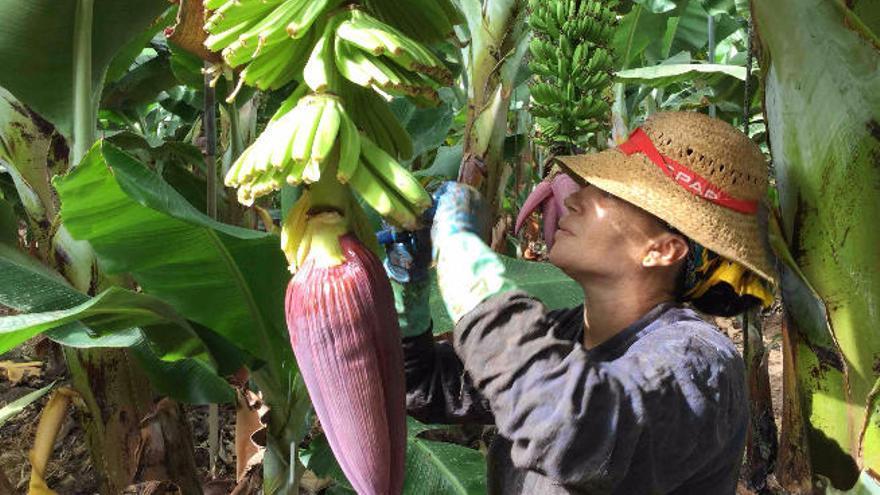 """Asprocan teme que el Senado dé """"carta libre"""" a la banana de terceros países"""