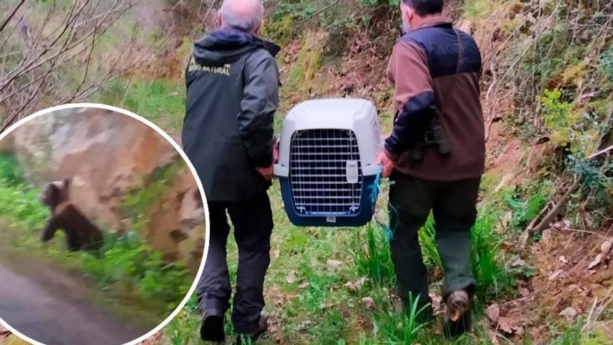 Buscan a la familia de un osezno abandonado en una cuneta en Asturias