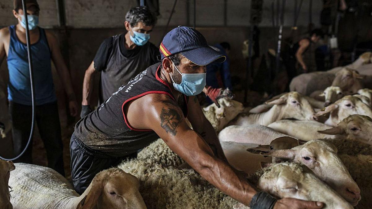 Esquileo de ovejas, el año pasado durante el Estado de Alarma. | Emilio Fraile