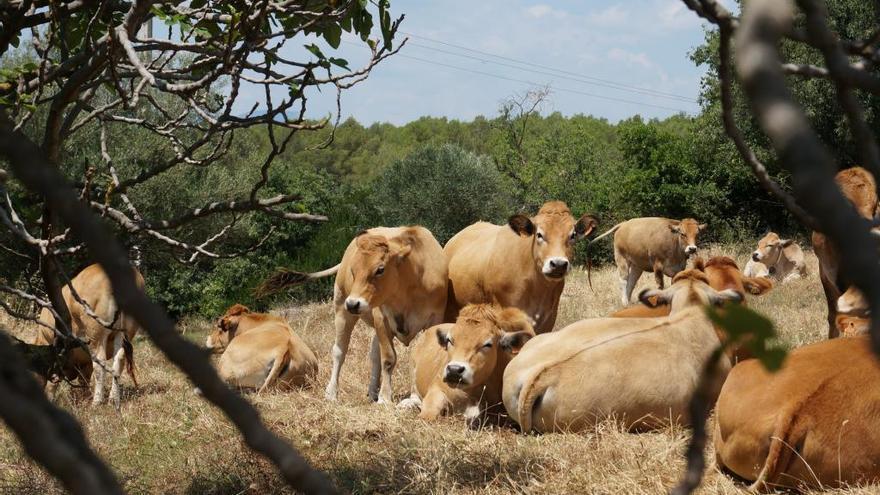 Can Genover, la finca agrícola i ramadera de Vilanant que treballa amb ecològic