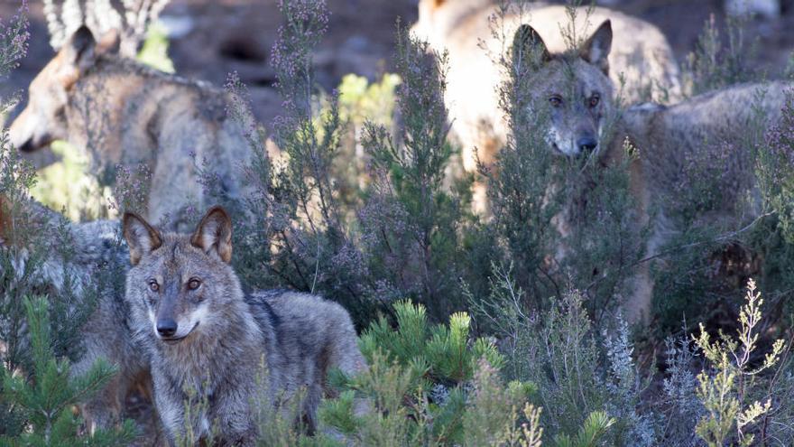 El Gobierno vuelve a convocar a las comunidades autónomas para tratar la estrategia del lobo