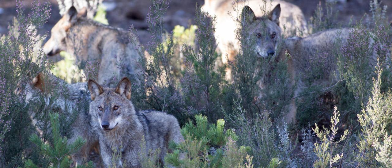 Lobos en Robledo de Sanabria.