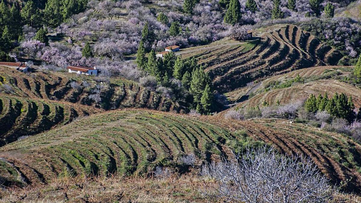 Medianías del noroeste de La Palma con cultivo de viñas.     E.D.