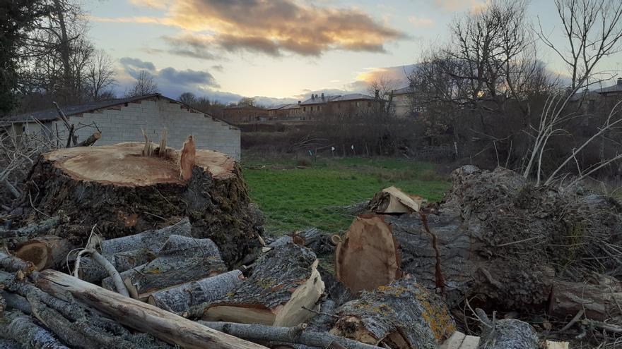 Ecologistas denuncian las reiteradas talas de robles en La Carballeda