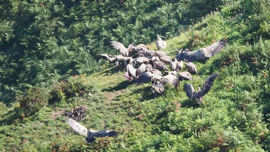 Asturias marca buitres y lobos con GPS para luchar contra el uso ilegal de veneno