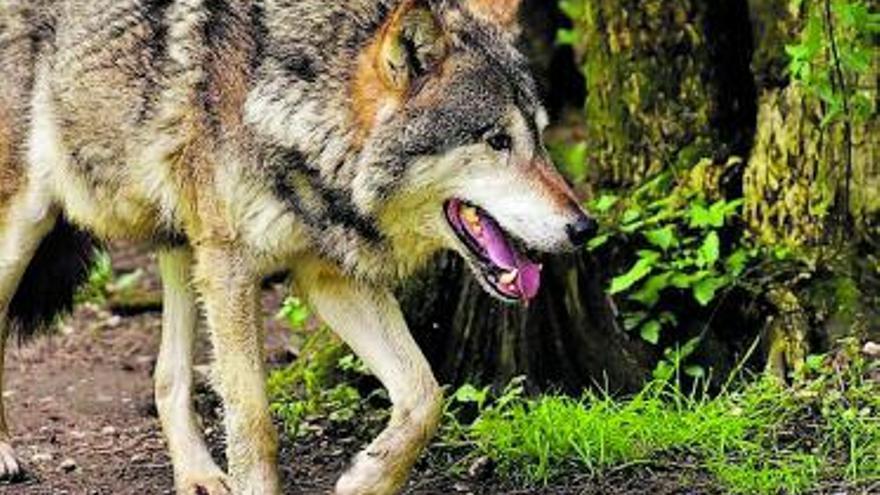 Dios salvó  al lobo por un voto
