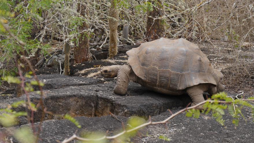 Un estudio genético de la UMH de Elche determina que todas las tortugas gigantes son de la misma especie