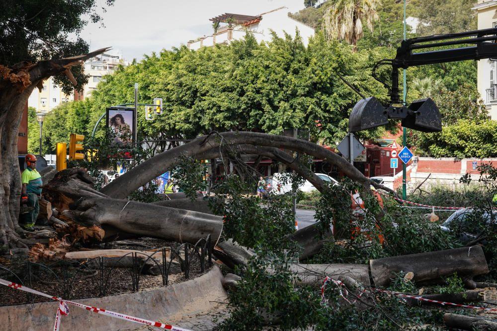 Operarios municipales retiran las ramas arrancadas por un rayo del ficus del Paseo de Sancha.