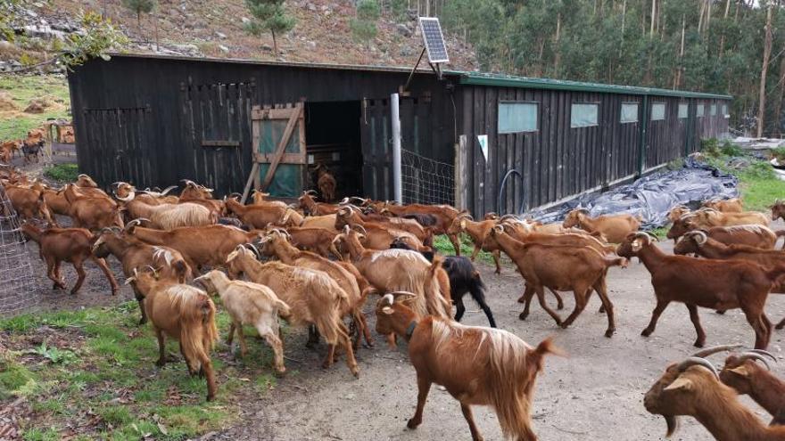 Los comuneros de Meira alquilan su nave y criarán las cabras en zonas de monte valladas