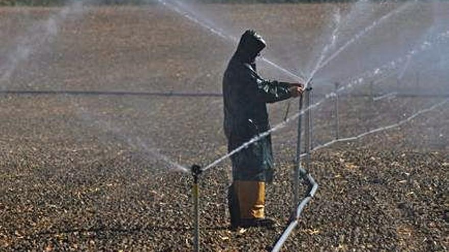 Un agricultor coloca los tubos para regar.