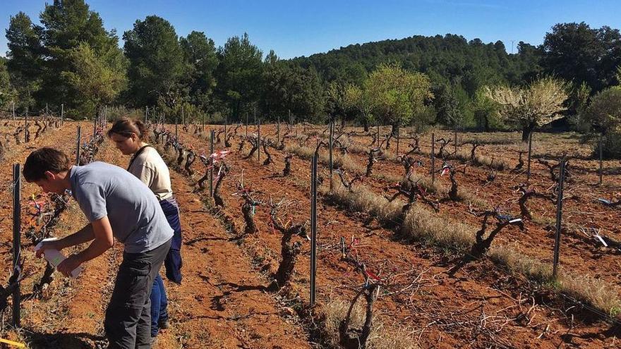 Agua y sal para salvar el viñedo