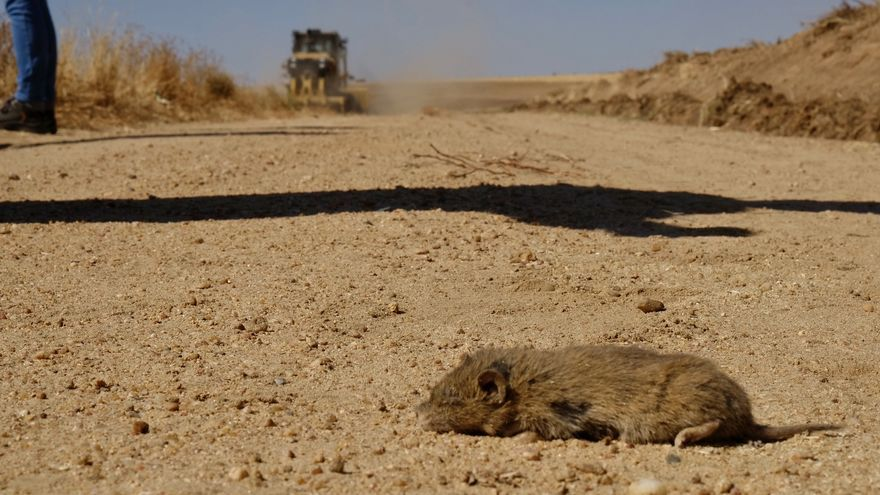 Un estudio constata que los topillos modulan el riesgo de tularemia en el medio agrario