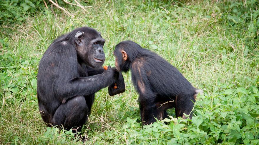 Los simios, al igual que los humanos, también se saludan y se despiden