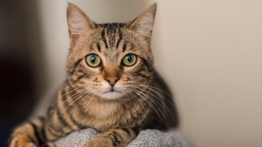 Un antiviral usado para tratar un coronavirus en gatos podría funcionar en humanos