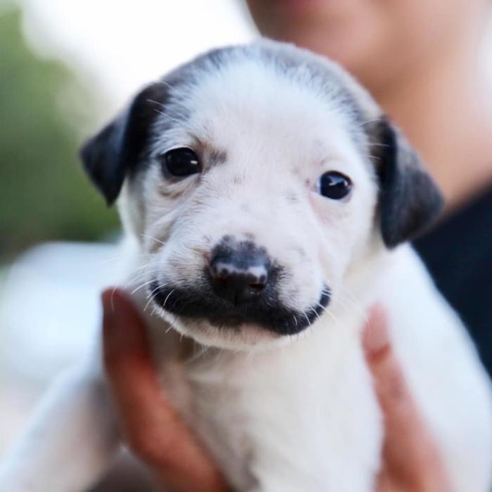 Un gos amb el bigoti de Dalí
