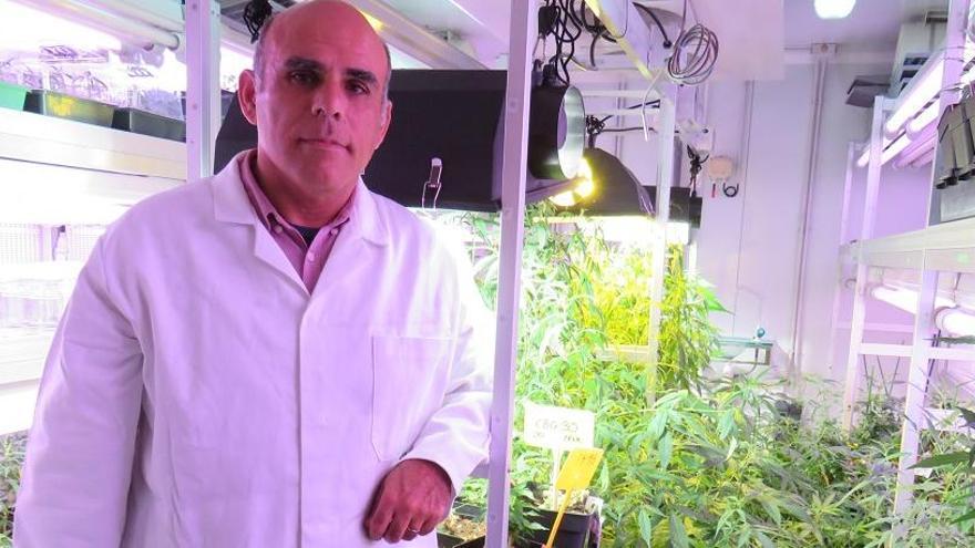 Crean la primera variedad de cannabis legal con alto potencial medicinal