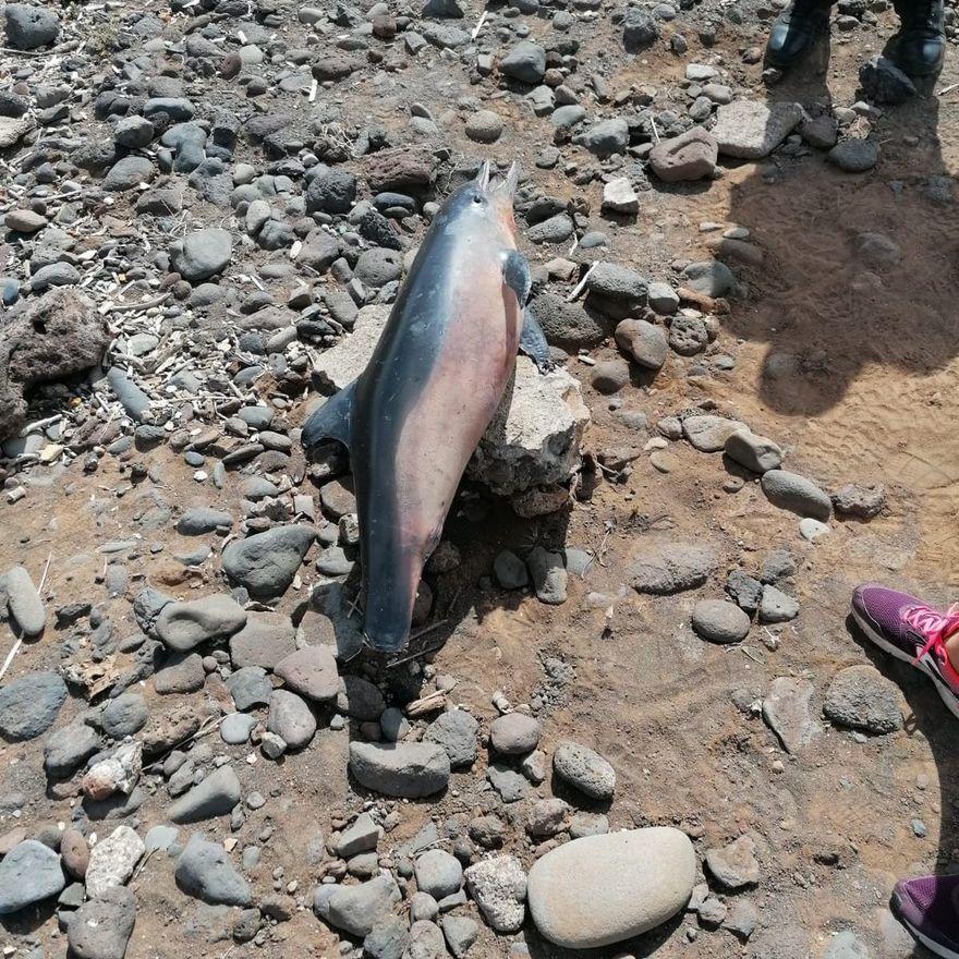 Hallan los cadáveres de dos cetáceos en Tenerife