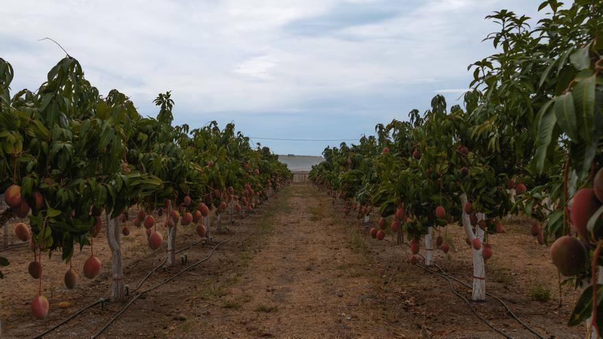 Málaga acogerá el simposio internacional del mango en octubre de 2023
