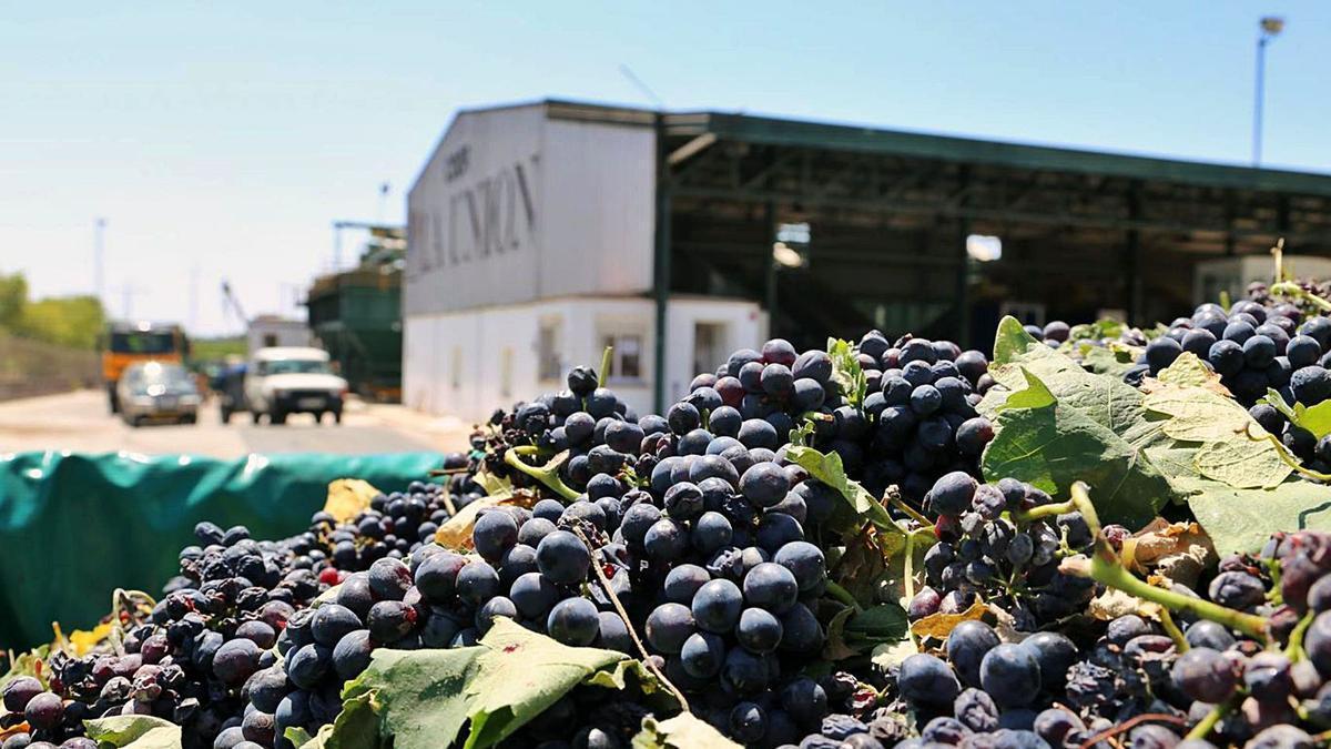 Un remolque cargado de uva tinta aguarda a ser pesado en la cooperativa La Unión de Montilla, que realiza la mayor vendimia de toda Andalucía.