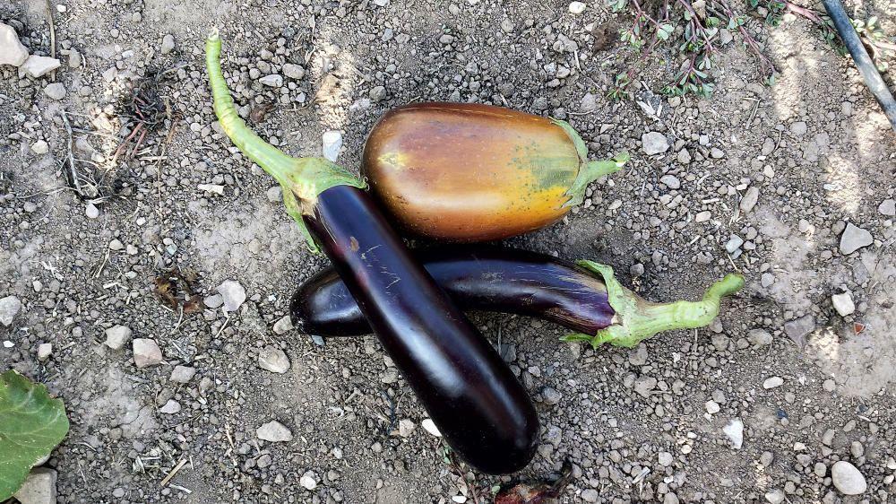 L'alberginiera és una planta amb fruits comestibles. Aquestes albergínies van ser collides a Cardona.