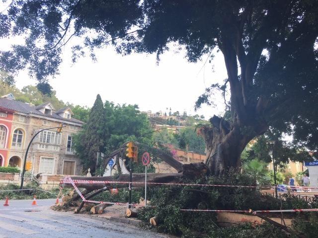 El árbol de la fuente de Reding, en el Paseo de Sancha, golpeado por un rayo.