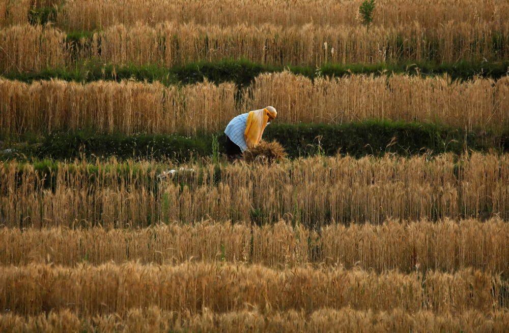 La cosecha durante la pandemia