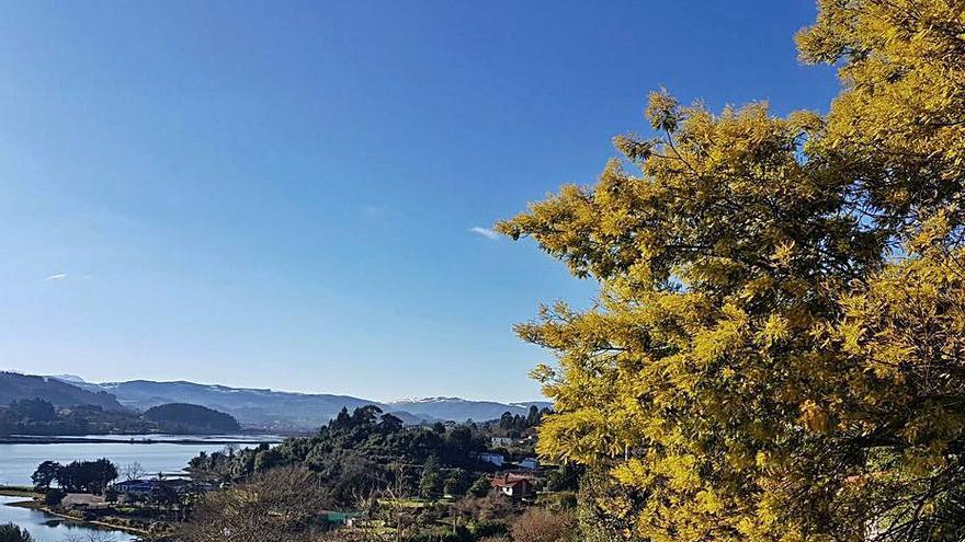 Sorpresa en Villaviciosa: florecen las primeras mimosas en plena invernada